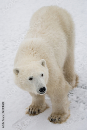 Papiers peints Ours Blanc A polar bear on the tundra. Snow. Canada. An excellent illustration