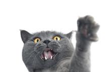 British Shorthair Cat Crazy Ex...