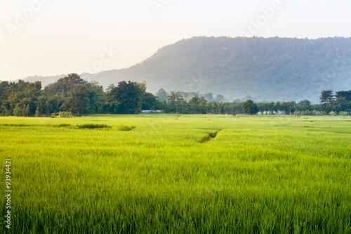 Poster Rijstvelden good morning with beautiful green rice field.