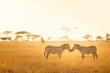 Zebra Love in the Serengeti