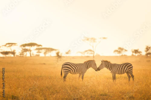 fototapeta na szkło Zebra Love in the Serengeti