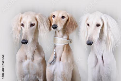 Fotografie, Obraz  Portrait of three dog breeds Persian Greyhound