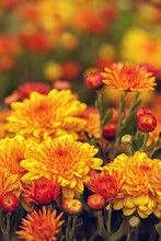 Autumn Mums Or Chrysanthemums ...