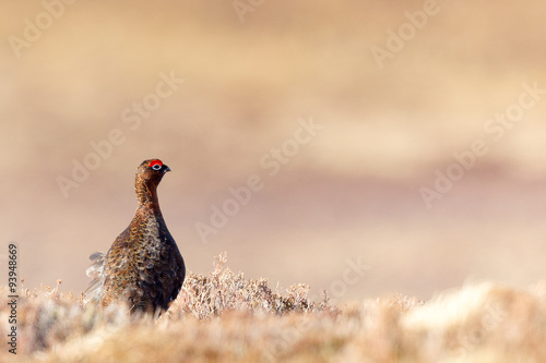 Photo Red Grouse