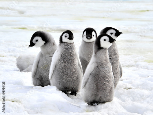 Spoed Foto op Canvas Pinguin Emperor Penguin Chicks