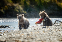 Two Brown Bear Cubs