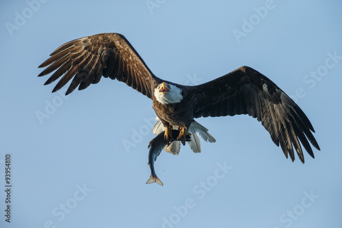 Poster Aigle Bald Eagle in flight with salmon catch
