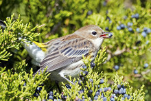 Yellow-rumped Warbler Eating B...
