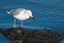 Herring Gull Eating Mussels Fr...