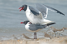 Laughing Gull's Mating