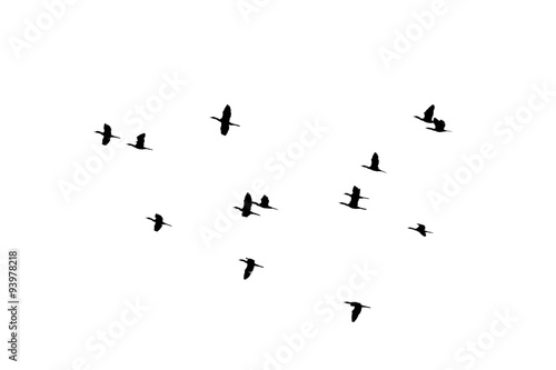 Valokuva  flying of flock birds silhouette on white background