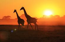 Giraffe Sunset - Walking Under The Majestic Sun