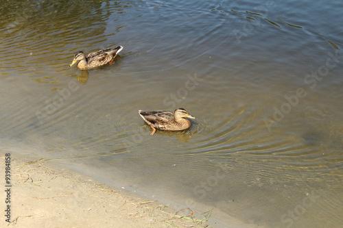 Fotografie, Obraz  The ducks floating in a pond