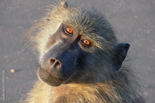 Photo Baboon