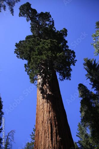 Fotografie, Obraz  sequoïa géant