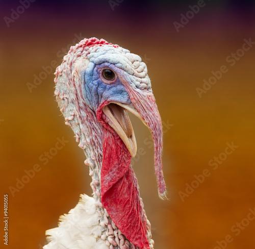 Colorful turkey portrait