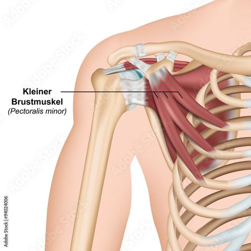 Musculus pectoralis minor Anatomie – kaufen Sie diese Vektorgrafik ...