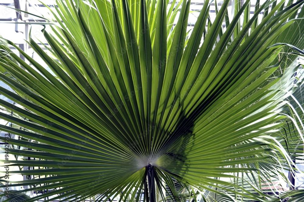 Fototapeta liść palmowy w palmiarni, Zielona Góra
