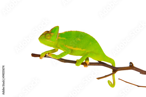 Staande foto Kameleon Chameleon on a branch