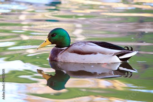 Fotobehang Kikker утка на воде