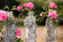 Pink Climbing Roses On A Mossy Fence