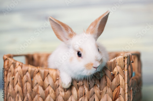 Curious baby bunny gazing from a basket Canvas Print