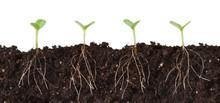 Seedlings And Roots Cutaway - Several Seedlings Growing In Dirt Cutaway View Showing Roots.