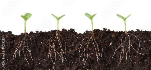 Fotografie, Tablou Seedlings and Roots Cutaway - Several seedlings growing in dirt cutaway view showing roots