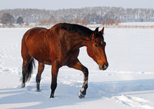 A Beautiful Brown Mare Steps On Snow Field