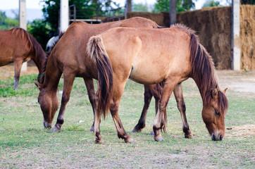 Horses graze in farm