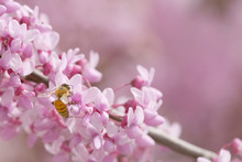 Redbud Tree Isolated In Spring Blooming With Flowers And A Bee