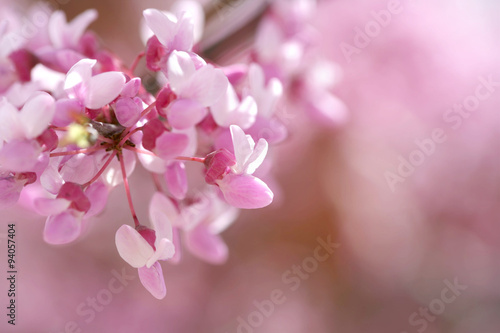 Fotografie, Obraz  Redbud tree isolated in spring blooming with flowers and a bee