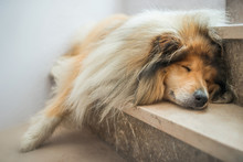 Hundemüde – Collie Schläft...