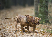 Two Bordeaux Dog Playing In The Autumn Park. An Excellent Illustration.