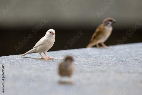 Fotografie, Obraz  Albino Eurasian Tree Sparrow