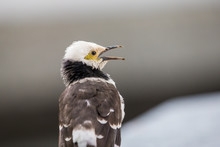 Black-collared Starling Singing