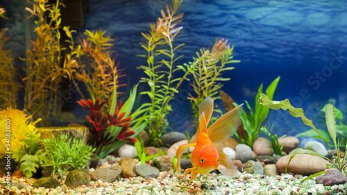Fotografie, Obraz  Aquarium Native Gold Fish