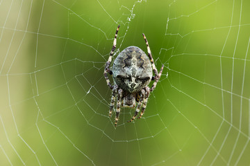 Close up of Araneus angulatus spider on the web