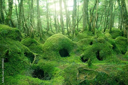Fotografie, Obraz  苔の森 原生林 白駒池周辺 長野県