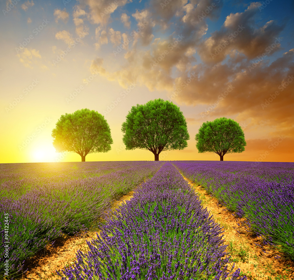 Fototapety, obrazy: Lavender fields in Provence at sunset - France, Europe.