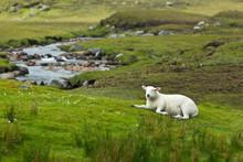 Lamb Grass Brook Scottish Landscape