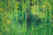 Willow Tree In The Water With Reflection
