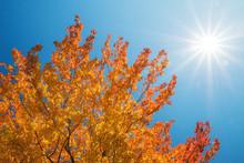 Golden Autumn Tree Top Against Sunny Blue Sky