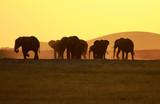 Fototapeta Sawanna - Large elephant herd during the sunset