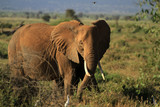 Fototapeta Sawanna - Male Elephant in natural habitat