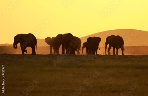 Large elephant herd during the sunset