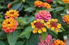 Yellow, Orange And Pink Lantana Flowers