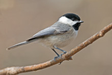 Carolina Chickadee On Branch