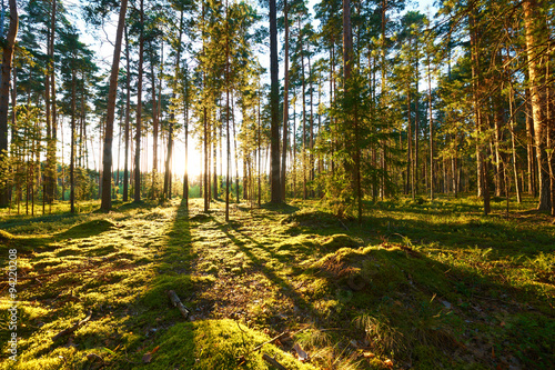 Sunrise in pine forest Canvas Print