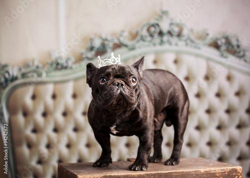 Poster Bouledogue français french bulldog